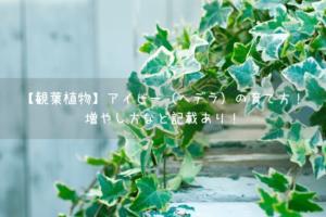 【観葉植物】アイビー(ヘデラ)の育て方!増やし方など記載あり!