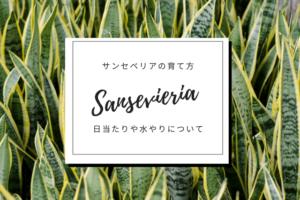 観葉植物サンスベリア(サンスベリア)の育て方