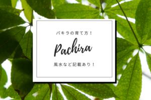 観葉植物パキラの育て方