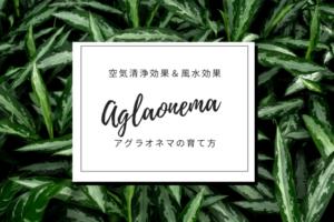 観葉植物アグラオネマの育て方