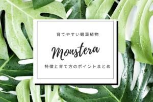 観葉植物モンステラの育て方