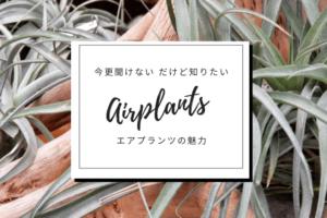 観葉植物エアプランツの魅力